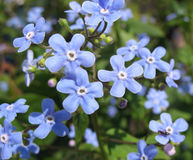 The blue flowers of Brunnera Stock Photography
