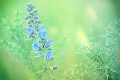 Blue flowers of burdock -bur Royalty Free Stock Photography