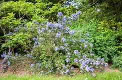 Blue flowers on a bush in a park. In front is Grass and was taken in summer 2016 Stock Photography