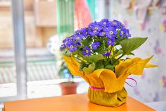 Blue flowers in the calyx, in the yellow pot . Blue Anemone blanda flower . Grecian windflower . Bunch of first spring flowers. An royalty free stock photos