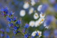 Blue flowers and chamomile. stock photo