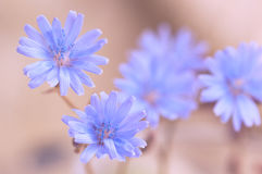 Blue flowers of chicory on a gentle background. soft selective focus royalty free stock photos