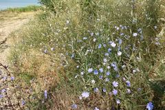 Blue flowers of chicory and the path along the lake. Blue flowers of chicory and the path along the lake on a hot summer day stock photo