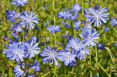Blue flowers of chicory Royalty Free Stock Image
