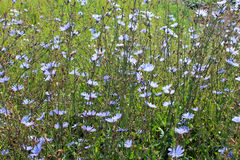 Blue flowers of Cichorium Royalty Free Stock Images