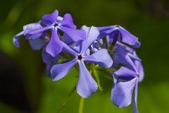 Blue flowers close-up. Decorative flower garden perennial Phlox Stock Images