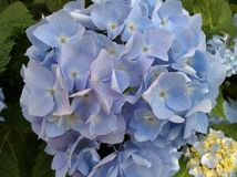 Blue flowers. Closeup of small pale blue flowers Royalty Free Stock Photography