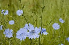 Blue flowers of a common chicory. Cichorium intybus, a flowering plant growing on meadows with light blue blossoms Royalty Free Stock Images