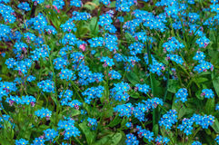 Blue flowers Cynoglossum or Chernokoren. May 2107 Stock Images