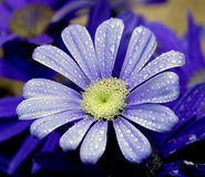 Blue flowers. On the dark background Royalty Free Stock Photos