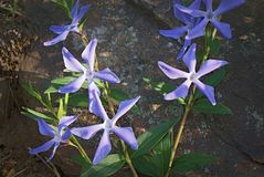 Blue flowers on dark wild stone outdoors stock photos