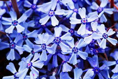 Blue flowers for decoration Royalty Free Stock Photography