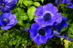 Blue Poppy Anemone Royalty Free Stock Photography