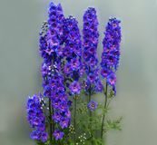 Blue flowers delphinium. Beautiful blue flowers. Beautiful bouquet. These are wildflowers. Flowers are the best gift stock photography