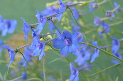 Blue flowers of delphinium. Blooming blue larkspur Delhinium grandiflorum `Blue Dwarf Stock Images