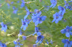 Blue flowers of delphinium. Blooming blue larkspur Delphinium grandiflorum `Blau Zwerg Royalty Free Stock Images