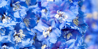 Blue flowers of a delphinium close up macro Royalty Free Stock Photo