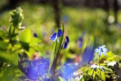 Blue flowers. In early spring Stock Photography