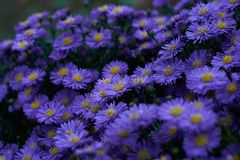 Blue flowers in a park royalty free stock image