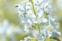 Blue flowers of fireweed (Epilobium or Chamerion angustifolium) in bloom ivan tea. Background Stock Image