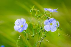 Blue flowers of flax in a field against green background, in summer, close up, shallow depth of field. Agriculture, nature, beautiful, meadow, outdoor, linen stock image