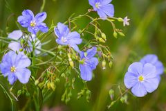 Blue flowers of flax in a field against green background, in summer, close up, shallow depth of field. Agriculture, nature, beautiful, meadow, outdoor, linen stock images