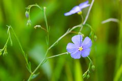 Blue flowers of flax in a field against green background, in summer, close up, shallow depth of field. Agriculture, nature, beautiful, meadow, outdoor, linen royalty free stock photo