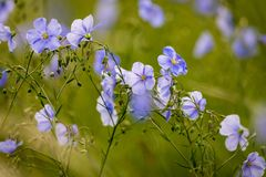 Blue flowers of flax in a field against green background, in summer, close up, shallow depth of field. Agriculture, nature, beautiful, meadow, outdoor, linen royalty free stock photography