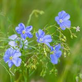 Blue flowers of flax in a field against green background, in summer, close up, shallow depth of field. Agriculture, nature, beautiful, meadow, outdoor, linen stock photos