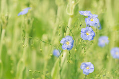 Blue flowers of flax on a green background. Field blue flowers. Selective soft focus Stock Photo