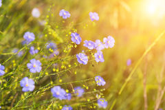 Blue flowers of flax Stock Photography