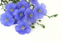 Blue flowers. Flax perennial Stock Photos