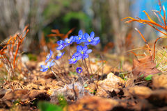 Blue flowers in forest. Of Hepatica Nobilis - Ground perspective Royalty Free Stock Image
