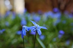 Spring flowers. Blue flowers forest spring rain expectations stock image