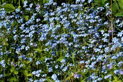 Blue flowers forget-me. Flora small flowers blue flowers spring nature green grass beautiful flowers sun stock photos