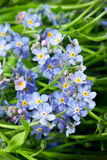 Blue flowers forget-me-not Stock Images