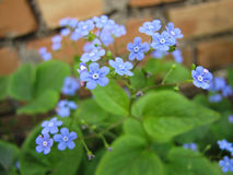 Blue flowers forget me not Stock Images