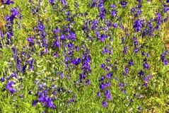 Blue flowers forking larkspur stock image