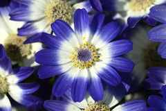 Blue flowers Royalty Free Stock Photo