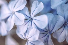 Blue flowers in a garden, close up royalty free stock photo