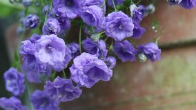 Blue flowers in the garden, close up, HD footage stock video footage