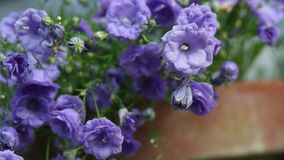 Blue flowers in the garden, close up, HD footage stock footage