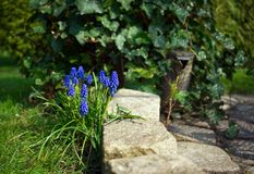 Blue flowers in the garden royalty free stock photography