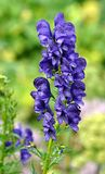 Blue flowers - gentian Stock Photos