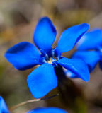 Gentiana alpina Royalty Free Stock Image