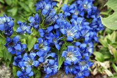 Blue flowers of Gentiana plant. Closeup image of Gentiana flowers at the New York Botanical Garden stock photography