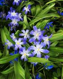 Blue flowers gorgeous spring Royalty Free Stock Photo