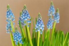 Blue flowers of Grape Hyacinth growing with blurred yellow backg Stock Photography