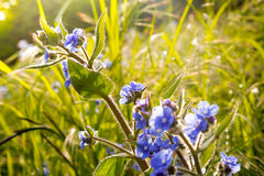 Blue flowers in the grass. Wild blue flowers in grass Royalty Free Stock Photography