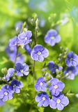 Blue flowers on a green background Stock Photos